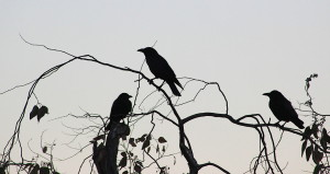crows7