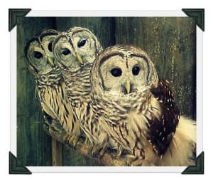 barred-owls-perched