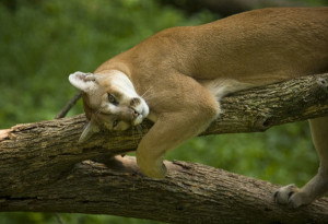 2006 FILE: A cougar at Wildlife Prairie State Park June 28, 2006, near Peoria, Ill. (E. Jason Wambsgans/Chicago Tribune) ..OUTSIDE TRIBUNE CO.- NO MAGS, NO SALES, NO INTERNET, NO TV.. 00264062A Tra Peoria Park